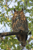 Great Horned Owl (Bubo virginianus) at a day-time roost in early December.