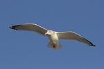 Adult Herring Gull (Larus argentatus) in winter plumage in flight in early December.