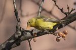 First-winter male Western Tanager (Piranga ludoviciana), a rare vagrant on the East Coast, in early December.
