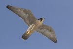 Adult female Peregrine Falcon (Falco peregrinus) in flight in mid-December.