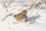 Song Sparrow (Melospiza melodia) looking for weed seeds in the snow in mid-December.