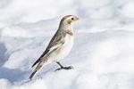 Adult Snow Bunting (Plectorphenax nivalis) in winter plumage in late December.