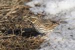 Savannah Sparrow (Passerculus sandwichensis) in late December.