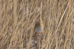LeConte's Sparrow (Ammospiza leconteii) in late December.