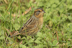 Nelson's Sparrow (Ammospiza nelsoni) in late October.