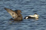 Common Eiders (Somateria mollissima), female at left, second-year male at right, in late December.