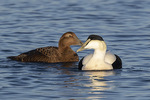 Female (left) and Second-year male (right) Common Eiders (Somateria mollissima) in late December.