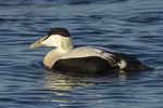Second-year male Common Eider (Somateria mollissima) in late December.