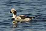 Adult male Long-tailed Duck (Clangula hyemalis) in winter plumage in late December.