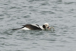 Male Long-tailed Duck (Clangula hyemalis) with flounder in mid-January.