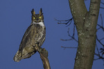 Great Horned Owl (Bubo virginianus) at dusk in late December.