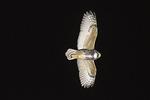 Great Horned Owl (Bubo virginianus) in flight in late December.