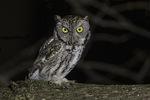 Gray-morph Eastern Screech-Owl (Megascops asio) in late December.