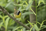 Male Common Yellowthroat (Geothylpis trichas) in late May on spring migration.
