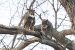 Great Horned Owl (Bubo virginianus) Pair in mid-January.