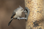 Tufted Titmouse (Baeolophus bicolor) at tube feeder in mid-January.