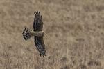 Female Northern Harrier (Circus hudsonius) in flight in late January.