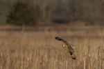 Short-eared Owl (Asio flammeus) in flight in late January.