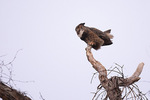 Great Horned Owl (Bubo virginianus) hooting in early evening in late January.