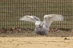 Snowy Owl (Bubo scandiacus) in late January.