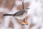 Northern Mockingbird (Mimus polyglottos) on suet feeder on a snowy day in early February.