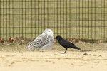Snowy Owl (Bubo scandiacus) and American Crow (Corvus brachyrhynchos) in late January.