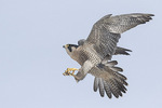 Adult female Peregrine Falcon (Falco peregrinus) in flight in mid-December.
