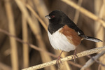 Male Eastern Towhee (Pipilo erythrophthalmus) in mid-February.
