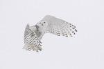 Snowy Owl (Bubo scandiacus) in flight in late February.