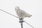 Female Snowy Owl (Bubo scandiacus) perched in late February.