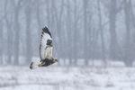 Immature Light-morph Rough-legged Hawk (Buteo lagopus) in flight on a snowy day in late February.