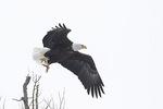 Adult Bald Eagle (Haliaeetus leucocephalus) in flight in late February. Point Peninsula Wildlife Management Area. Jefferson County, New York.