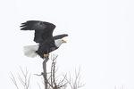 Adult Bald Eagle (Haliaeetus leucocephalus) in late February.