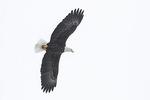 Adult Bald Eagle (Haliaeetus leucocephalus) in flight in late February.