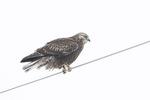 Immature intermediate-morph Rough-legged Hawk (Buteo lagopus) in late February.