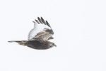 Immature intermediate-morph Rough-legged Hawk (Buteo lagopus) in flight in late February.