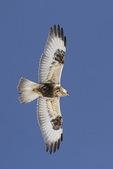 Immature light-morph Rough-legged Hawk (Buteo lagopus) in flight in late February.