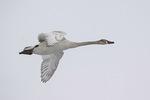 Immature Trumpeter Swan (Cygnus buccinator) in flight in late February.