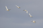 Tundra Swan (Cygnus columbianus) family in flight, adults at left, in late February.