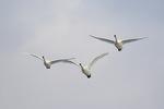 Tundra Swan (Cygnus columbianus) family in flight, immature center,  in late February.