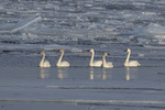 Tundra Swan (Cygnus columbianus) family, adults center and at right, in late February.