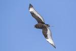 Immature Dark-morph Rough-legged Hawk (Buteo lagogus) in flight in late February.