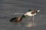 Great Black-backed Gull (Larus marinus) attacks male Mallard (Anas platyrhynchos) on an ice shelf in mid-January.
