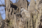 Great Horned Owl (Bubo virginianus) female at nest with young in early April.