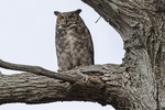 Adult female Great Horned Owl (Bubo virginianus) in early April.