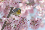 Male Northern Parula (Setophaga americana) in flowering cherry in early April. on spring migration.