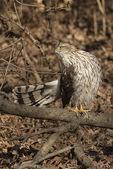 Immature male Cooper's Hawk (Accipiter cooperii) in early April.