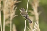 Adult Willow Flycatcher (Empidonax traillii) in early June.