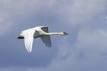 Male Trumpeter Swan (Cygnus buccinator) in flight in mid-June.