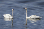 Trumpeter Swan (Cygnus buccinator) pair, male at right, in mid-June.